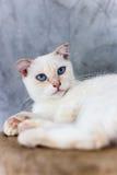 Blauäugige Katze, nette Katzen, schöne Katzen Lizenzfreies Stockfoto