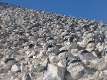 Blauäugige Kormorane der Kolonie auf Abhang Stockfoto