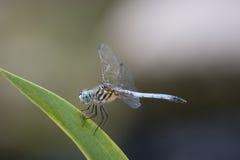 Blauäugige Libelle gehockt auf Irisblatt Stockfotografie