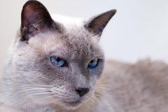 Blauäugige siamesische Katze stockbild