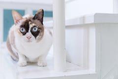 Blauäugige thailändische Katze, die auf weißem Treppenhaus liegt lizenzfreie stockfotografie
