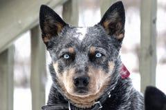 Blauäugiger Austrailian-Vieh-Hund stockfoto