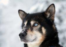 Blauäugiger Hund Stockbild