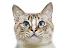 Blauäugiger Katzenkopf Lizenzfreie Stockbilder