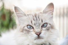Blauäugiger Katzenporträtabschluß oben, flacher DOF Stockfotografie