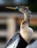 Blauäugiger Vogel Stockbild
