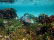 Blau-abgehaltener Papageienfisch Stockfoto