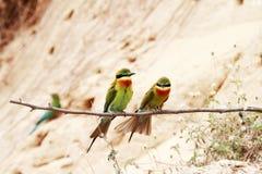 Blau-angebundene Bienenfresser-Vögel Stockfoto