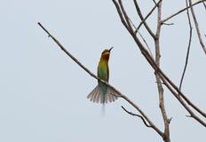 Blau-angebundener Bee-eater Lizenzfreie Stockbilder