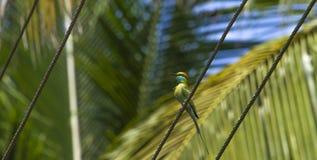 Blau-angebundener Bee-eater Lizenzfreie Stockfotografie