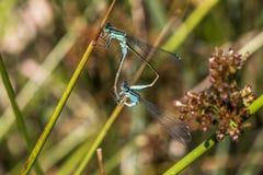 Blau-angebundener Damselfly (Ischnura-elegans) Stockfotos