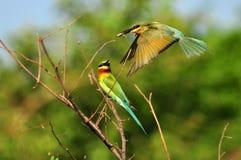 Blau-angebundenes bee-eater2 Stockfotos