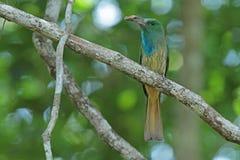 Blau-bärtiger Bee-eater mit Opfer Stockfoto