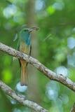 Blau-bärtiger Bee-eater mit Opfer Stockbilder
