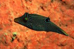 Blau beschmutzte Pufferfische Canthigaster-solandri Schwimmen Stockfoto