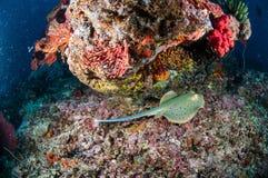 Blau beschmutzte ribbontail Strahl Taeniura-lymma Schwimmen in Gili, Lombok, Nusa Tenggara Barat, Indonesien-Unterwasserfoto Stockfotos