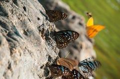 Blau beschmutzter Flügelschmetterling lizenzfreie stockfotografie