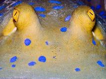 Blau-beschmutzter ribbontail Strahl Lizenzfreies Stockbild