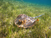 Blau-beschmutzter Stechrochen (Taeniura-lymma) auf dem grünen Unterwasserg stockfoto