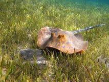 Blau-beschmutzter Stechrochen (Taeniura-lymma) auf dem grünen Unterwasserg stockfotografie