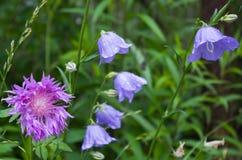 Blau blüht Glockenblume Stockfoto