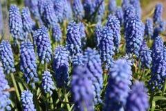 Blau blüht Muscari Stockfotos