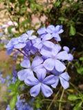 Blau blüht Nahaufnahme Stockbild