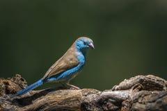 Blau--breasted Cordonbleu in Nationalpark Mapungubwe, Süd-Afri lizenzfreies stockfoto