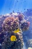 Blau--cheeked Butterflyfish auf Koralle Lizenzfreies Stockbild