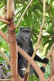 Blau diademed Affe zwischen Niederlassungen Lizenzfreies Stockbild