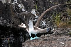 Blau-füßiger Dummkopf des Seevogels Lizenzfreie Stockbilder