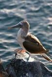 Blau-Füßiger Dummkopf, Galapagos Lizenzfreies Stockfoto