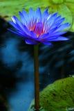 Blau-Fuchsien-Seerose lizenzfreie stockfotografie