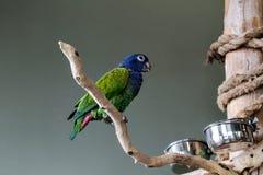 Blau-gekrönt-Conure lizenzfreies stockbild