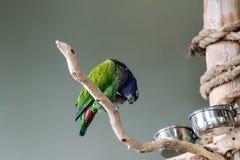 Blau-gekrönt-Conure Stockfotos