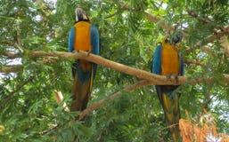 Blau-gelbe Aronstabpapageien auf Baum Stockfotos