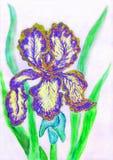 Blau-gelbe Iris, malend Lizenzfreie Stockfotos
