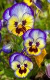 Blau-gelbe Pansies Lizenzfreie Stockfotografie