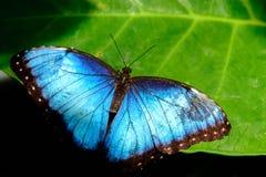 Blau gemeiner Morpho-Schmetterling Lizenzfreie Stockfotos