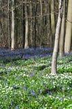 Blau-Glockenblühen Stockfoto