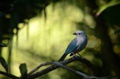 Blau-grauer Tanagervogel stockfotos