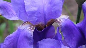 Blau irises die Nahaufnahme, die den Wind weitergeht Videoaufnahmen HD Statickamera stock footage