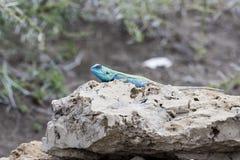 Blau-köpfige Baum-Dickzungeneidechse Acanthocercus Atricollis, das auf einem Felsen sich wärmt stockbilder