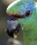 Blau-Konfrontierter Amazonas Lizenzfreie Stockfotografie