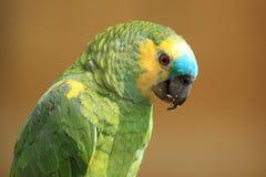 Blau-konfrontierter Amazonas Stockbilder