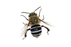 Blau-mit einem Band versehene Biene Lizenzfreie Stockbilder