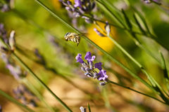 Blau mit einem Band versehene Biene Lizenzfreies Stockbild