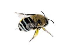Blau-mit einem Band versehene Biene, Amegilla cingulata Lizenzfreie Stockfotos