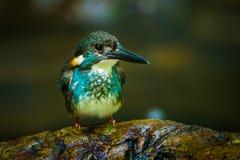 Blau-mit einem Band versehener Eisvogel Stockfotos