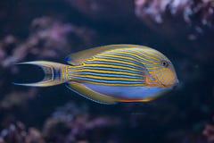 Blau mit einem Band versehener Surgeonfish (Acanthurus lineatus) Stockfotografie